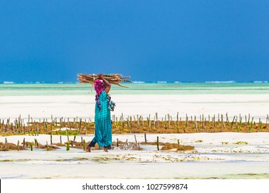 Woman working in sea weed plantation. Paje, Zanzibar, Tanzania.