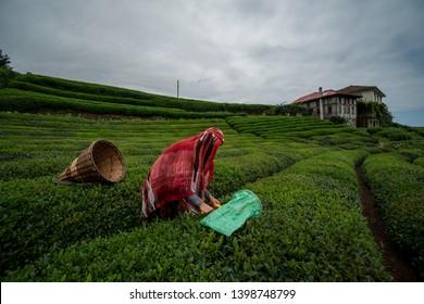 Woman is working in tea garden Rize Turkey