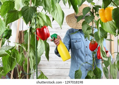 woman working in vegetable garden spray pesticide on the green leaves of sweet peppers lush plants, take care for plant growth