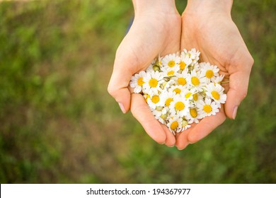 Woman's hand with a camomile on sunny summer day