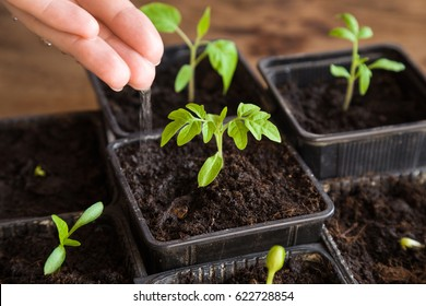 Woman's hand carefully watering tomato plant in the pot. In early spring preparations for the garden season.