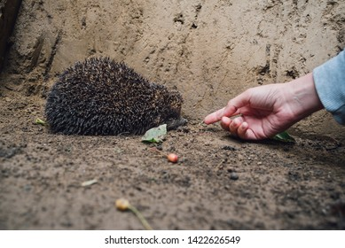 Woman's hand in front of a European forest hedgehog