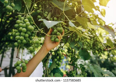 Woman's hand is gathering green grapes near the house. Summer day on farm yard. Harvest time in autumn. Ecological fruit for vegans.