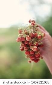 Woman's hand holding a bouquet of uncultivated wild field strawberries that grow in Russian counrtyside. Copy space for text. Healthy summer food concept. Organic diet.