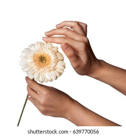 Womans Hand holding daisy  flower, isolated on white background