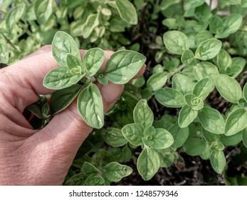 Woman's hand holding fresh oregano in the garden