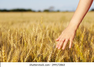 Woman's hand over ears of wheat
