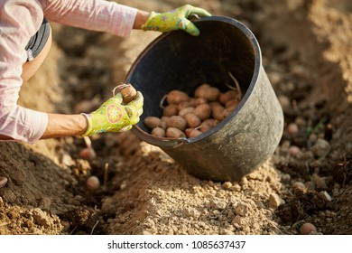 Woman's hand planting potato seed tubers in the garden