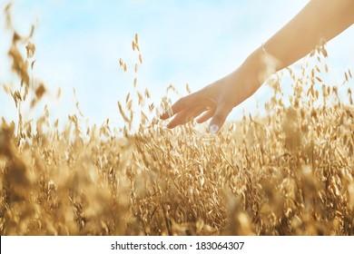 Woman's hand slide threw ears of wheat in sunset light