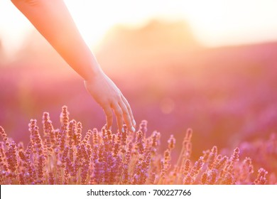 Woman's hand softly touching lavender flowers at sunset. Romantic warm sunshine