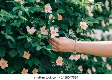 Woman's hand in spring blooming dog roses bushes.