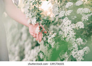 Woman's hand in spring blooming white bushes.