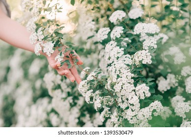 Woman's hand in spring blooming white bushes. Spring concept.