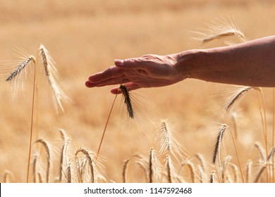 A woman's hand strokes the ears of grain
