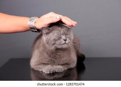 woman's hand strokes a gray british cat