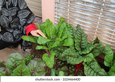 Woman's hand take care organic red green vegetable in the garden for family's healthy food with white bamboo wall background.