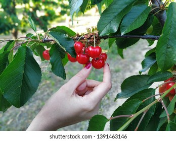 Woman's hand taking a cherry from a cherry tree