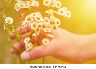 Woman's hand touch bouquet of camomile at sunset or sunrise. Rural and natural concept, alternative medicine