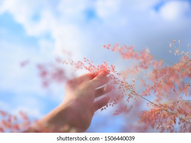 Woman's hand touch the grass in field at sunset sky background,Relaxing in pink flower a meadow in the summer sky background,spring time,Poaceae   grass flowers field,