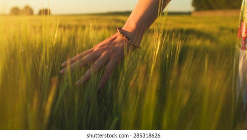 Woman's hand touch young wheat ears at sunset or sunrise. Rural and natural scenery.