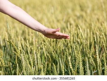 Woman's hand touches the ears of grain cereals. Selective focus.