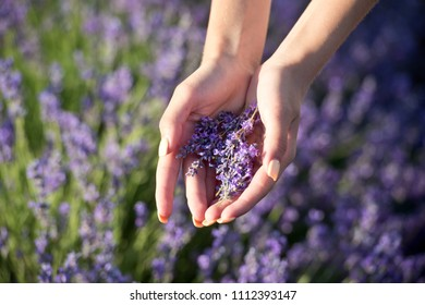 Woman's hand touching lavender, feeling nature.