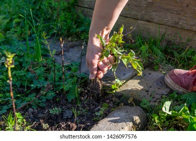 womans hand weeding in summer in the garden