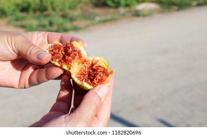 Woman's hands are breaking a juicy freshly gathered fig.