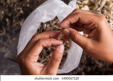 Woman's hands cleaning an anchovy