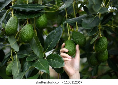 Woman's hands harvesting fresh ripe organic Hass Avocado