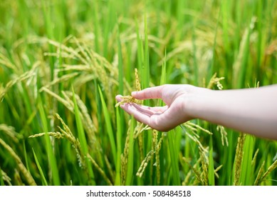 woman's hands hold yellow rice paddy in green rice field