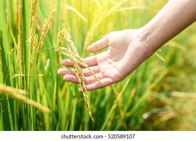woman's hands hold yellow rice paddy in green rice field in soft light of sunset