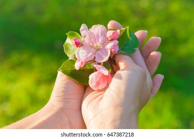 Woman's hands holding a flowers of apple tree branches in spring sunlight in the evening.