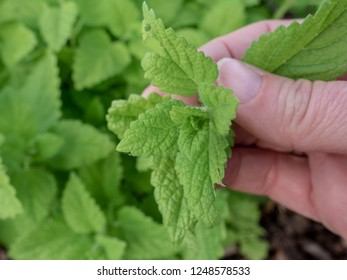 Woman's hands holding mint leaves in the garden