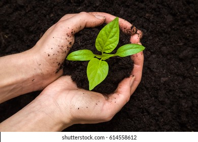 Woman's hands holding paprika plant with ground. Early spring planting.