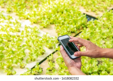 Woman's hands holding smart phone with organic vegetables background.