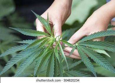 Woman's hands picking green hemp's top