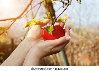 Woman's hands are taking down red apple from tree in a garden
