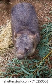 Wombat amongst gum leaves