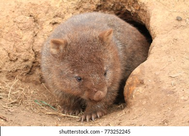 wombat with brown fur because of digging in sand