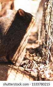 wombat in captivity looking out to the real world