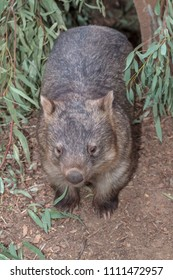 A wombat coming out of its burrow