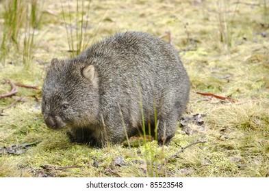Wombat in Cradle Mountain National Park, Tasmania, Australia