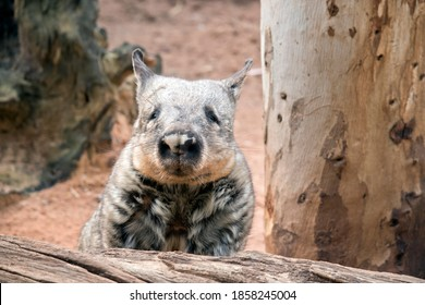 the wombat is a grey marsupial that walks on four legs