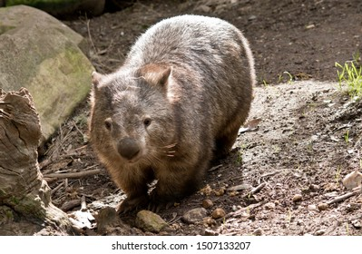 the wombat has come out of his under ground home to bask in the sun
