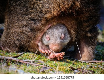 Wombat Joey, sleepy head poking out from mother's pouch