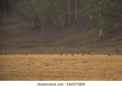 Wombat and Kangaroos at Lithgow and Newnes