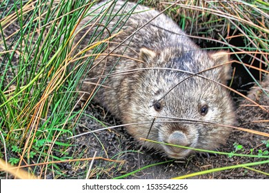 A wombat living in the wild. These animals live in a burrow and usually are a nocturnal animal.