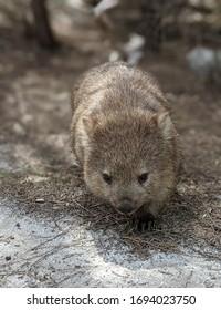 Wombat on Flinders Island, Tasmania