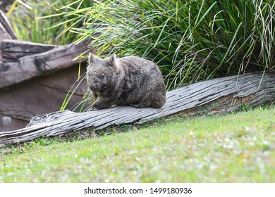 Wombat on a piece of wood